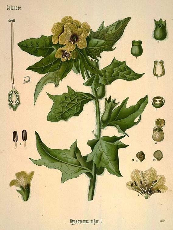 Köhler's Medizinal-Pflanzen in naturgetreuen Abbildungen mit kur.